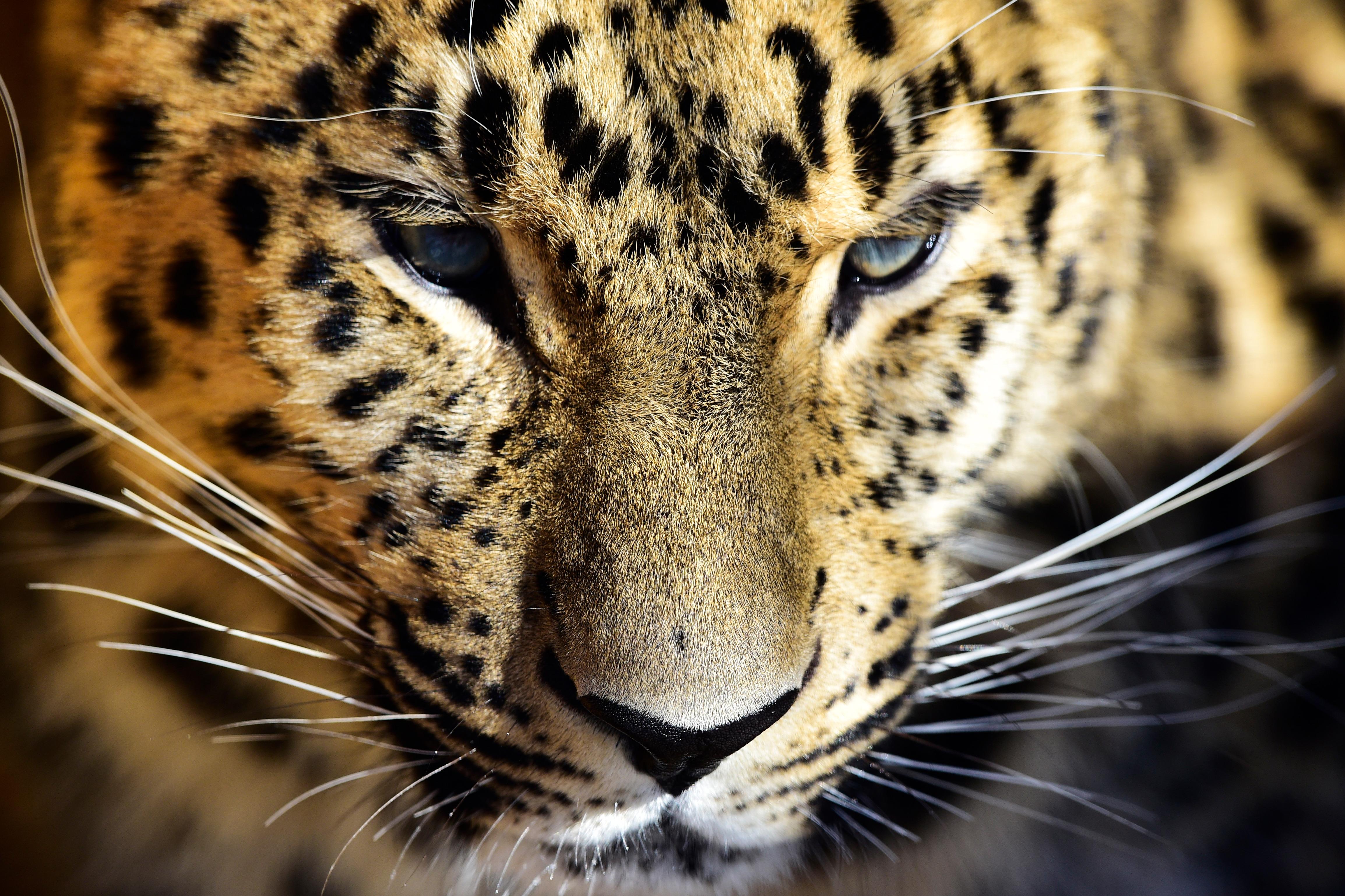 Снимки из космоса помогли найти места для выпуска леопардов на Северном Кавказе